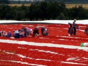 Akhisar'da domates kurutma sergisi