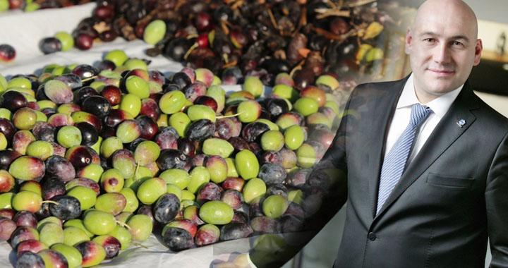 Akhisar zeytin buluşmasına hazır