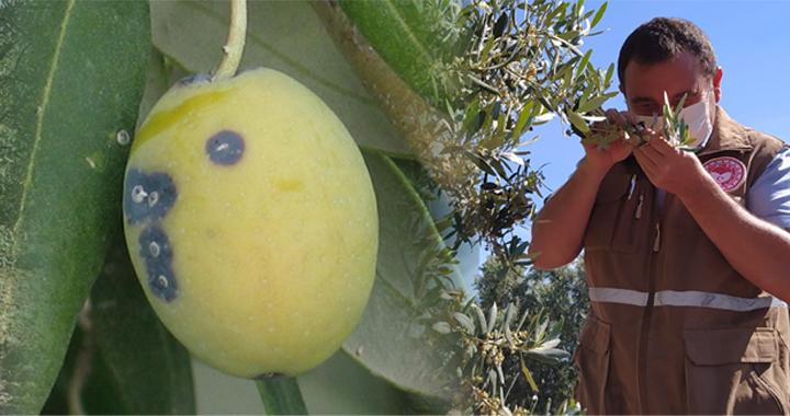 İlçe Tarım Müdürlüğü'nden zeytin kabuklu biti uyarısı