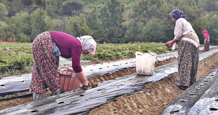 Akhisar Belediyesi'nin hibe ettiği 200 bin çilek fidesi toprakla buluştu