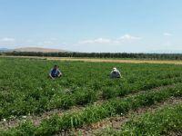 Domates ve Biber Yetiştiricilerine Yeşil Kurt Uyarısı