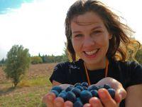 Avrupalı gençler Akhisar'da zeytin topladı