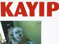 Çapkın isimli kayıp köpek aranıyor