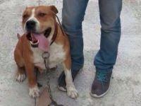 Akhisar'da Boxer Cinsi Bir Köpek, Bıçaklanarak Öldürüldü