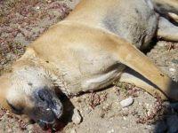 Akhisar ilçesinde köpek ve kedileri zehirleyerek öldürdüler