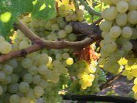 Akhisar'ın Sazoba Mahallesinde üzüm kesimi başladı