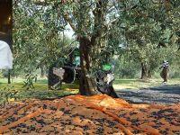 Akhisarlı öğretmen zeytin ağacından düşmesi sonucu vefat etti