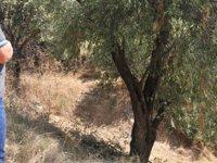 Zeytinliova'da zeytin ağacına asarak intihar etti