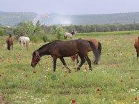 Akhisar'da ilk kez At Panayırı düzenleniyor