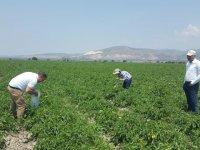 Hasat öncesi pestisit denetimleri devam ediyor