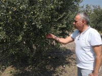 CHP Manisa Milletvekili Bakırlıoğlu; Sofralık zeytine prim verilmeli