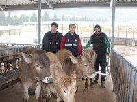 Genç Çiftçilere, proje kapsamında büyükbaş hayvan teslimi yapıldı