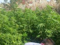 Akhisar'da kenevir bitkisi yetiştiricilerine darbe
