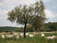 Türkiye'nin En Mutlu Saanen Keçileri