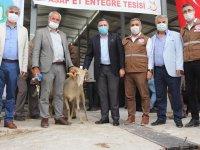 Koyun sürülerini iyileştirmek için koç dağıtıldı