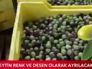 Akhisar Çınarlı Zeytincilik TGRT Haber