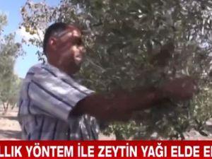 Akhisar Başlamış Köyünde 600 yıllık zeytin toplama yöntemi