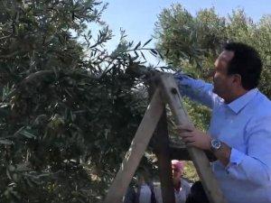 Akhisar Belediye Başkanı Besim Dutlulu, halkla birlikte zeytin topladı